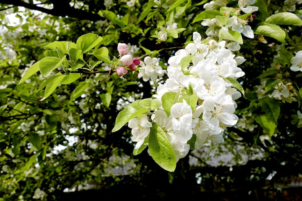 Apple Blossom-blogsize